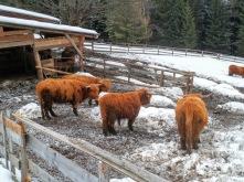 Mucche scozzesi di malga Priu