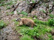 Marmotta sotto la cima del Rauchkofel