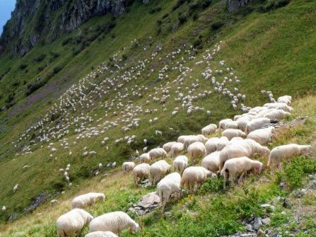 Gregge di pecore a Rifugio Chiadinas